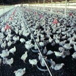 Alberta Chicken Producers welcomes update to poultry care code