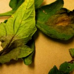 Late blight confirmed in Alberta