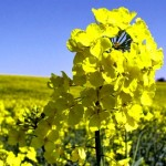 A healthy, flowering rapeseed plant.