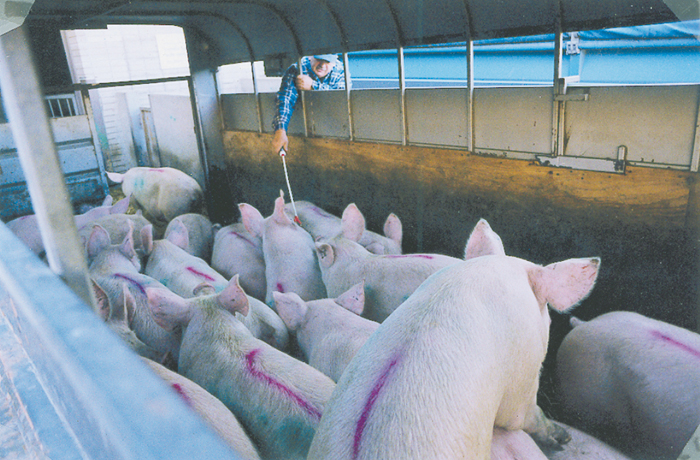 pigs in a trailer