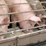 pigs feeding from a trough