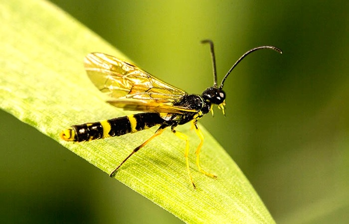 Wheat stem sawfly