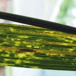 Historically a problem in southern Alberta, stripe rust has started spreading north, says winter wheat agronomist Janine Paly.