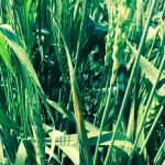 Stripe rust on winter wheat in Brooks, Alta.