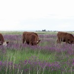 Cattle love purple prairie clover, and the legume also provides environmental benefits.