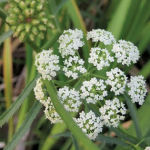 Water hemlock has been found in many sloughs this year. This specimen was found in Wabamun Provincial Park.