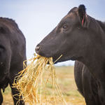 Palatability is one of several factors to consider when buying pea straw.