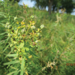 Leafy spurge is tough to control once established.