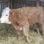 A calf with bovine respiratory disease.