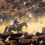 Cowboy on Horse During Cattle Roundup