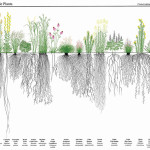 The massive root systems of prairie grasses mean they can store up to 130 tonnes of carbon per hectare.