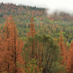 The mountain pine beetle is now established in lodgepole–jack pine forests 