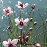 Flowering rush, which has invaded several Alberta wetlands, is easiest to identify when flowering.
