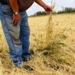 Salvaging hail-damaged crops