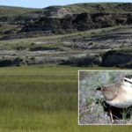 The 42,000 acres of short-grass prairie at Onefour Ranch is home to at least 23 federally listed species at risk, including the mountain plover (inset).