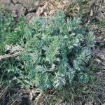 Prevention through proper grazing management is the best way to keep absinthe wormwood out of pastures.