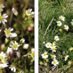 Assessing the threat from a weed starts with identifying it. For example, whitlow grass (left) isn't a big threat, but scentless chamomile (right) is, says provincial crop specialist Harry Brook. photos: wiki commons