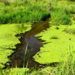 Keep an eye out for blue-green algae in dugouts