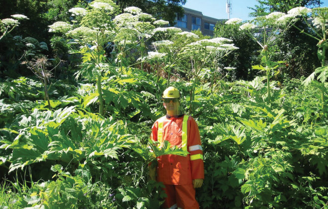 Giant hogweed is similar to cow parsnip in many respects, but its size is a giveaway.