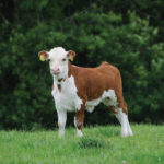 Three approaches to managing first- and second-calvers