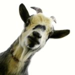 No kidding around – goat expert offers breeding advice
