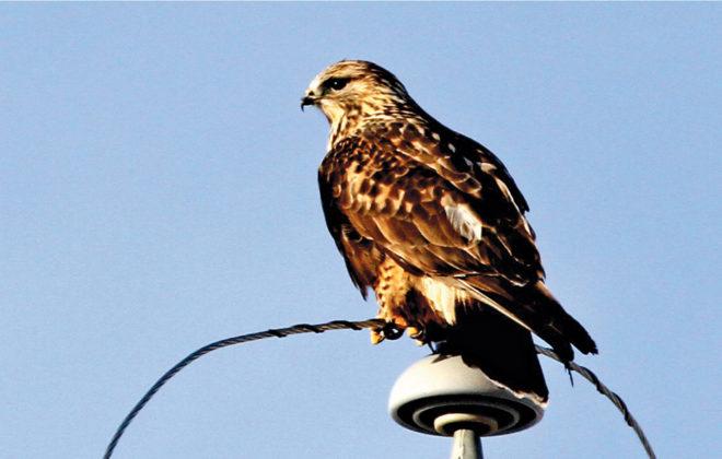 A rough-legged hawk finds the perfect perch, high above a stubble field near Priddis.