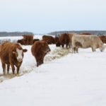 The earlier you plan your winter feeding strategy, the more choices you have, says a provincial beef extension specialist.