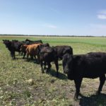 Cover crops can get cattle back onto cropland — where they belong, according to one soil health specialist.