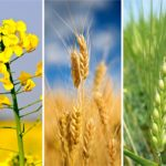 Alberta crop commissions announce new board director lineups