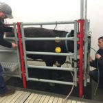 Methane emissions from a steer were measured by Agriculture Canada researchers.
