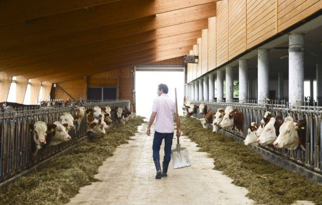 Farmer with cattle in barn
