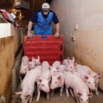 There are 16 pigs shown here — raise them to market weight and you're looking at a loss of $800 or more.