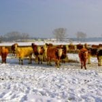 cows on winter pasture