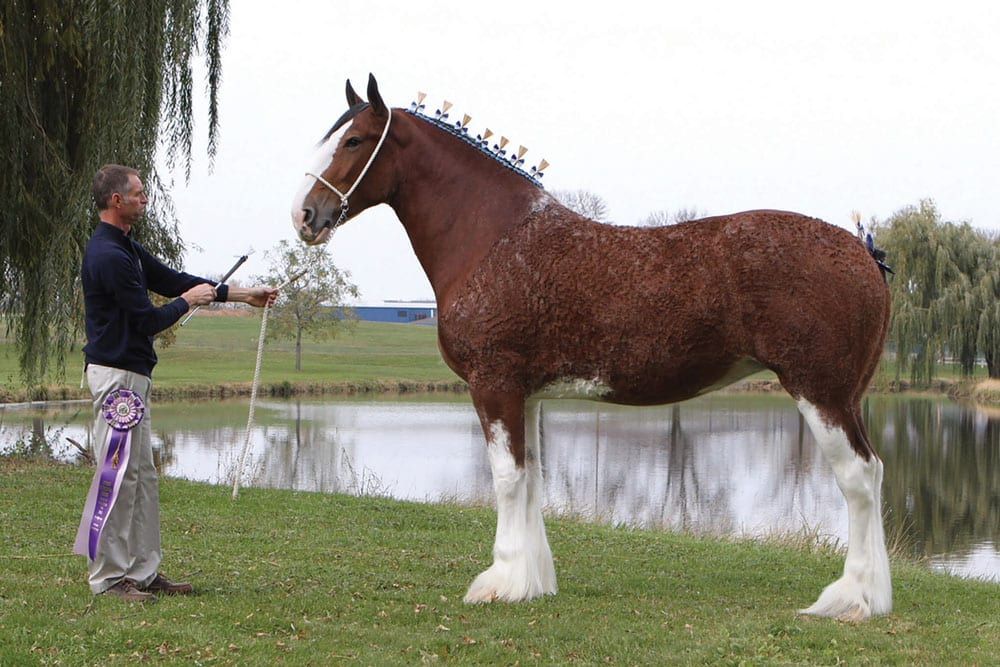 Puzzle, the Supreme Grand Champion, with Wes Gordeyko, of Willow Way Farms at the World Clydesdale Show.