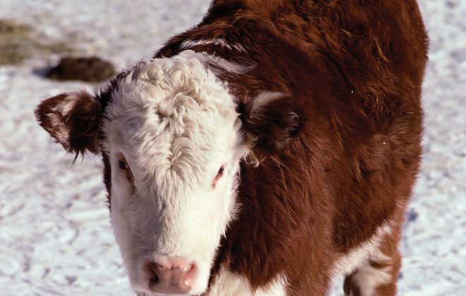 Hereford calf on a snow field