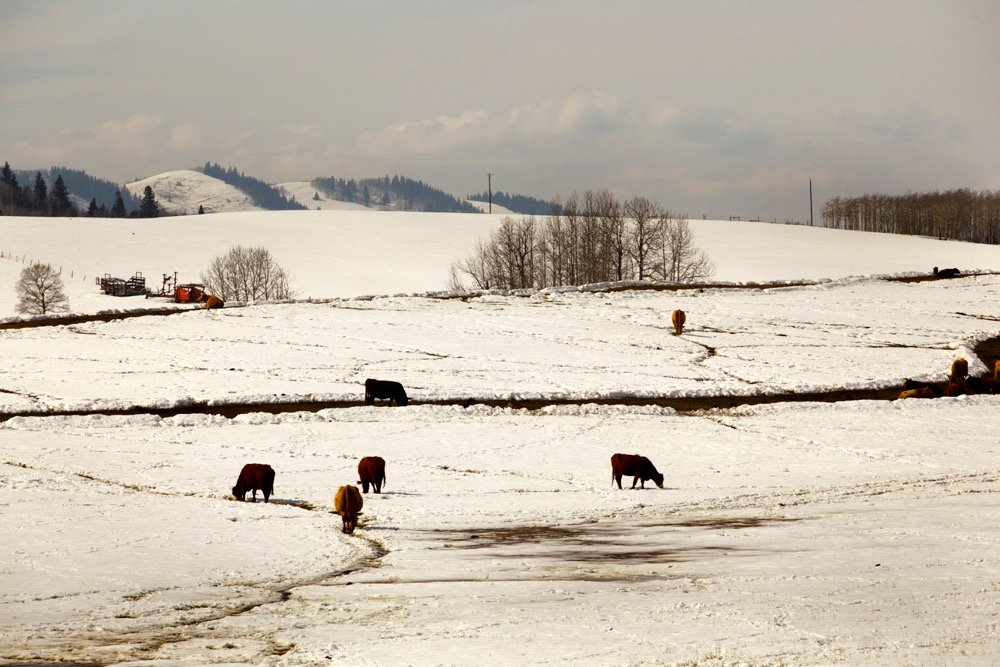 cattle in winter pasture