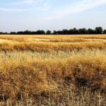 Canola checkoff tax credit available