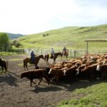 Low-stress cattle handling practices and improved facilities have made the work more enjoyable for producers.