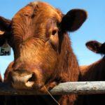 Klassen — feeder cattle market reflects mixed tone