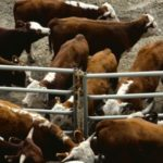Klassen: Feeder cattle market becomes extremely vulnerable
