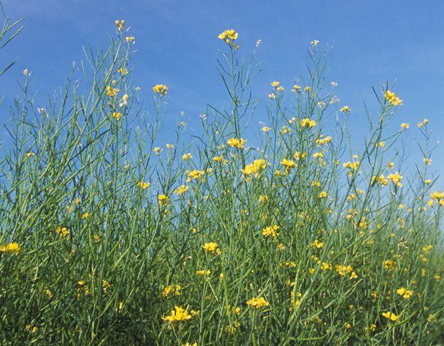 Brown mustard. (Peggy Greb photo courtesy ARS/USDA)
