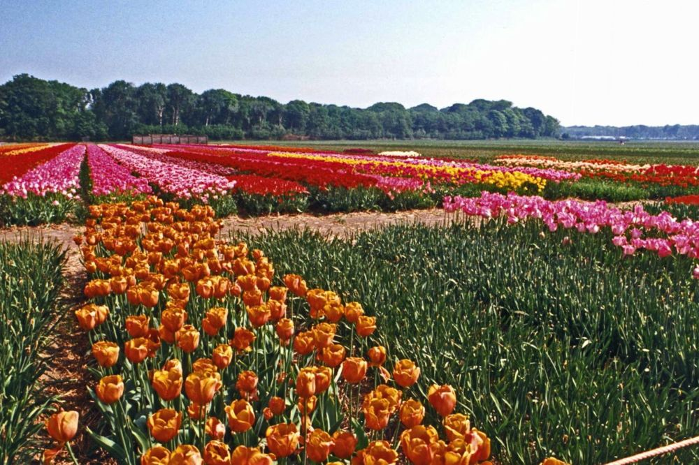 Tulip fields in the Netherlands. (CIA.gov)