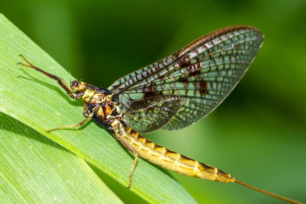 Health Canada is calling for a three- to five-year phase-out of imidacloprid from farm use over potential risks to aquatic insects such as mayflies. (OttawaRiverkeeper.ca)