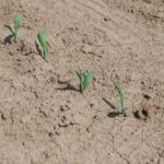 A close-up of emerging corn seedlings north of London, Ont. on May 24, 2016. (Ralph Pearce photo)