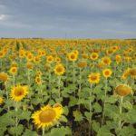 A sunflower crop in Manitoba. (MysticEnergy/Getty Images)