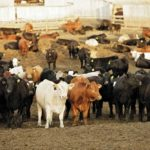 Despite current dip, cattle feeders optimistic about what lies ahead