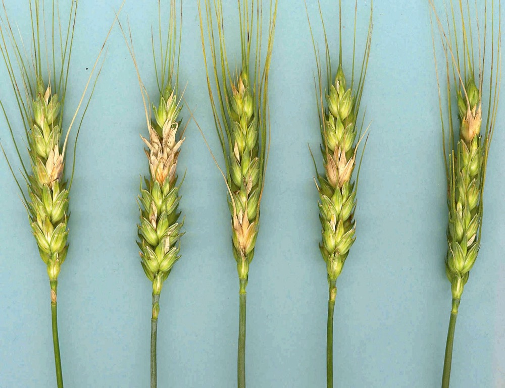 Producers should use fungicide when there is an elevated risk of FHB,
