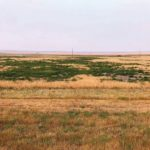 This Alberta field is being overrun by kochia — likely a type resistant to two or even three modes of action. Canada already ranks third in terms of herbicide-resistant weed and the problem is quickly worsening, says a leading expert.