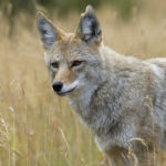 Parasites in coyotes and foxes a threat to people, researchers find