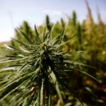 Alberta college courses offer hemp agronomy 101